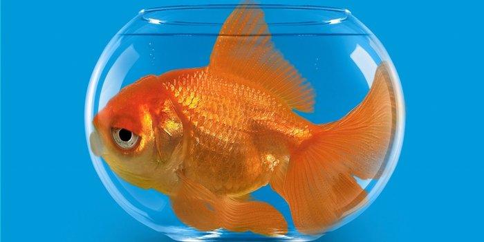 goldfish consumer goods